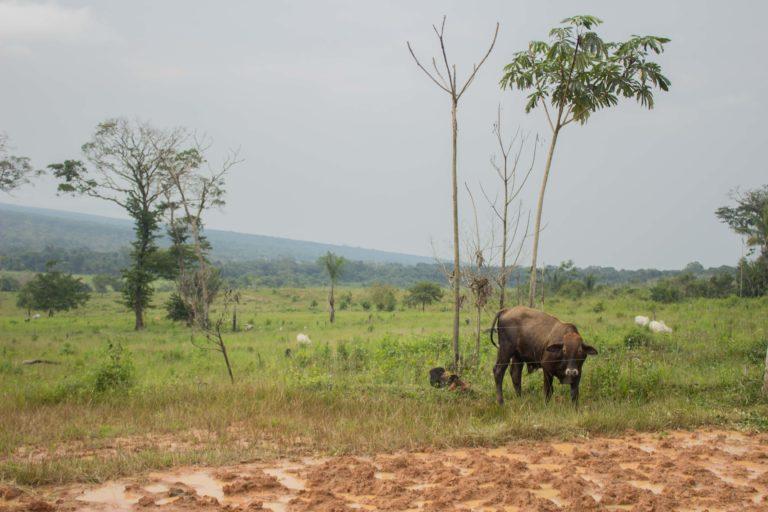 La ganadería ilegal es uno de los principales problemas dentro de Tinigua. Foto: María Jimena Neira Niño.