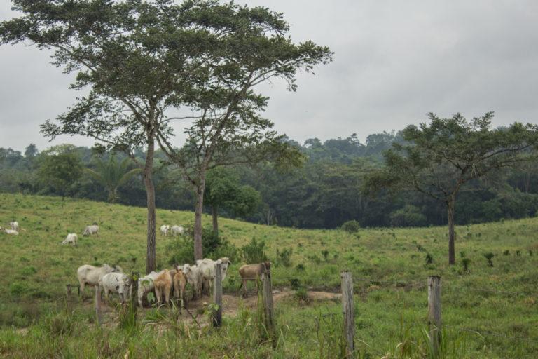 La ganadería ilegal es usada como una forma de adueñarse de grandes extensiones del parque Tinigua. Foto: María Jimena Neira Niño.