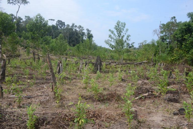 Plantas de coca en medio un bosque arrasado. Al fondo aún se observa los árboles que no han sido talados. Foto: Yvette Sierra Praeli.