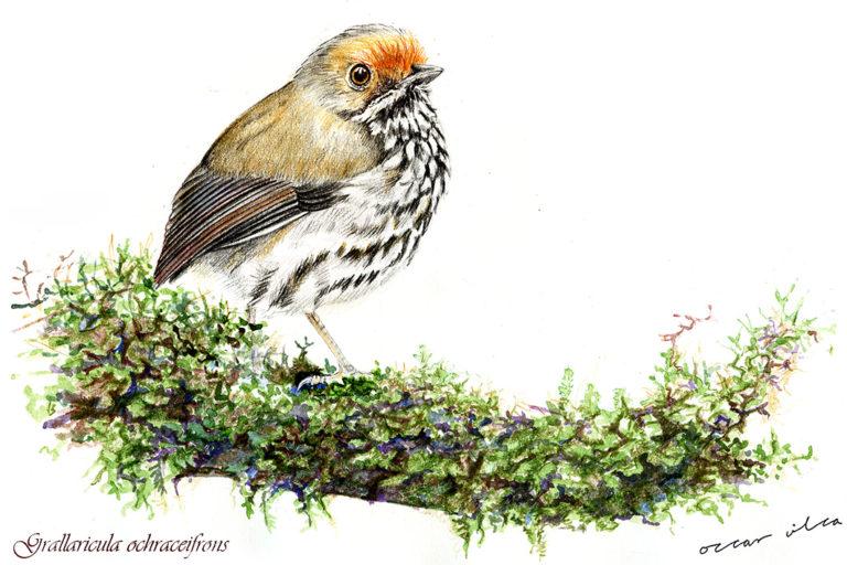 El primer encuentro de Óscar Vilca con la naturaleza fue en reserva Nacional Tambopata, un viaje para pintar aves. Foto: Óscar Vilca.
