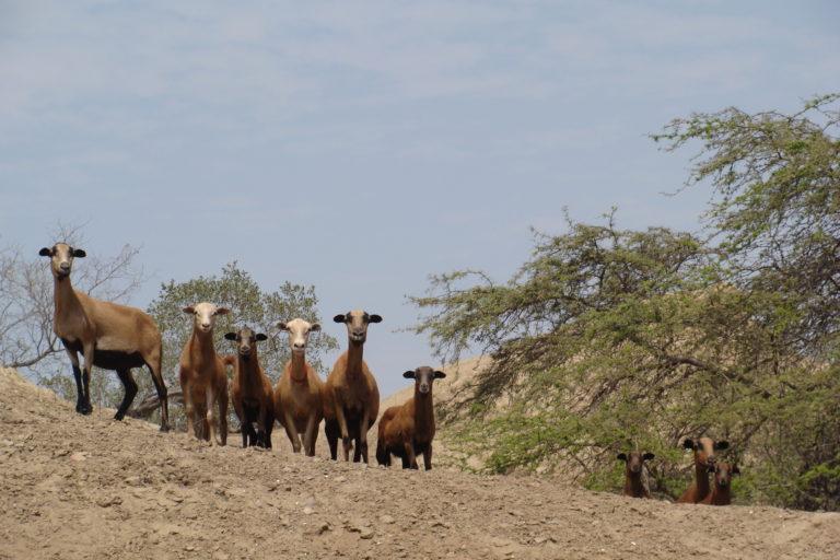 Cabras en el Santuario Histórico Bosques de Pómac. Foto: Christian Devenish.