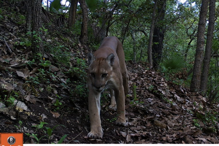 Puma-Oaxaca