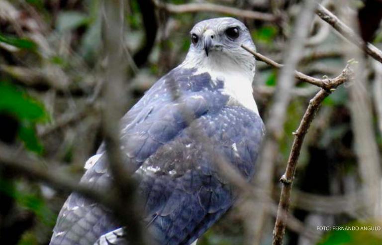 El gavilán dorsigris es un ave endémica de los bosques secos del norte de Perú. Foto: Fernando Angulo.