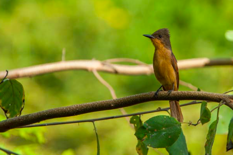 El copetón rufo de los bosques secos del norte peruano. Foto: Michell León.