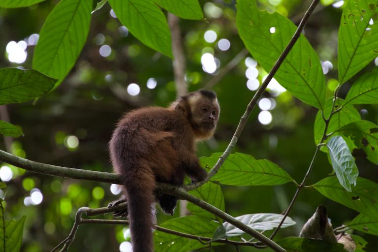 Mono ardilla (Saimiri boliviensis) en Cocha Cashu, en el Parque Nacional del Manu Foto: ©Gabriel Herrera.