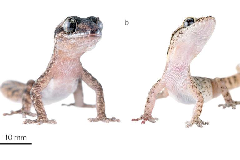 nuevos geckos descubiertos en Galápagos