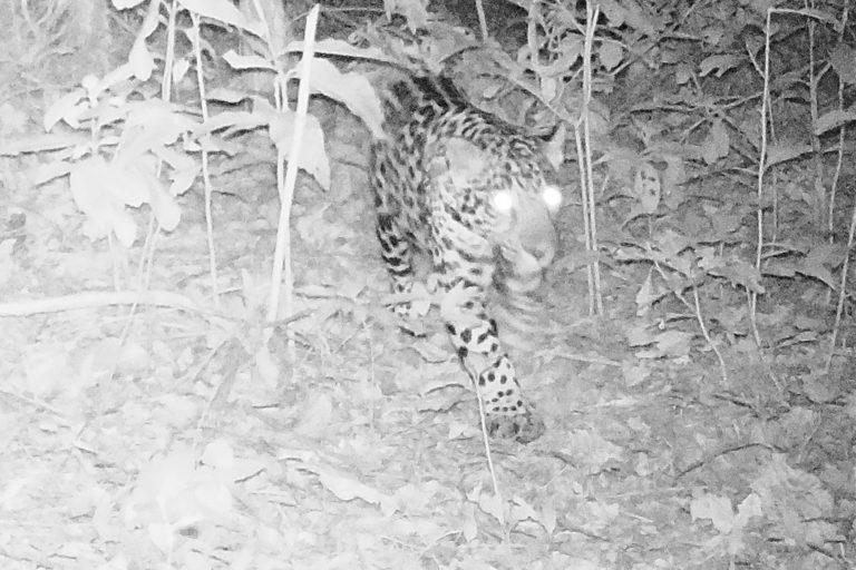 Minería Sierra Nevada. La presencia del jaguar es una buena noticia para la salud del ecosistema. Foto: Applied Biodiversity Foundation.