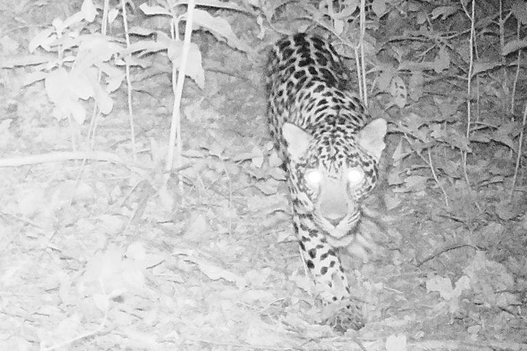 Minería Sierra Nevada. Jaguar captado por cámara trampa en territorio wiwa. Foto: Applied Biodiversity Foundation.