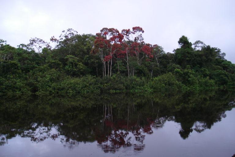 Árboles Amazonía Ecuador. Bosque amazónico ecuatoriano. Foto: Cortesía INABIO.