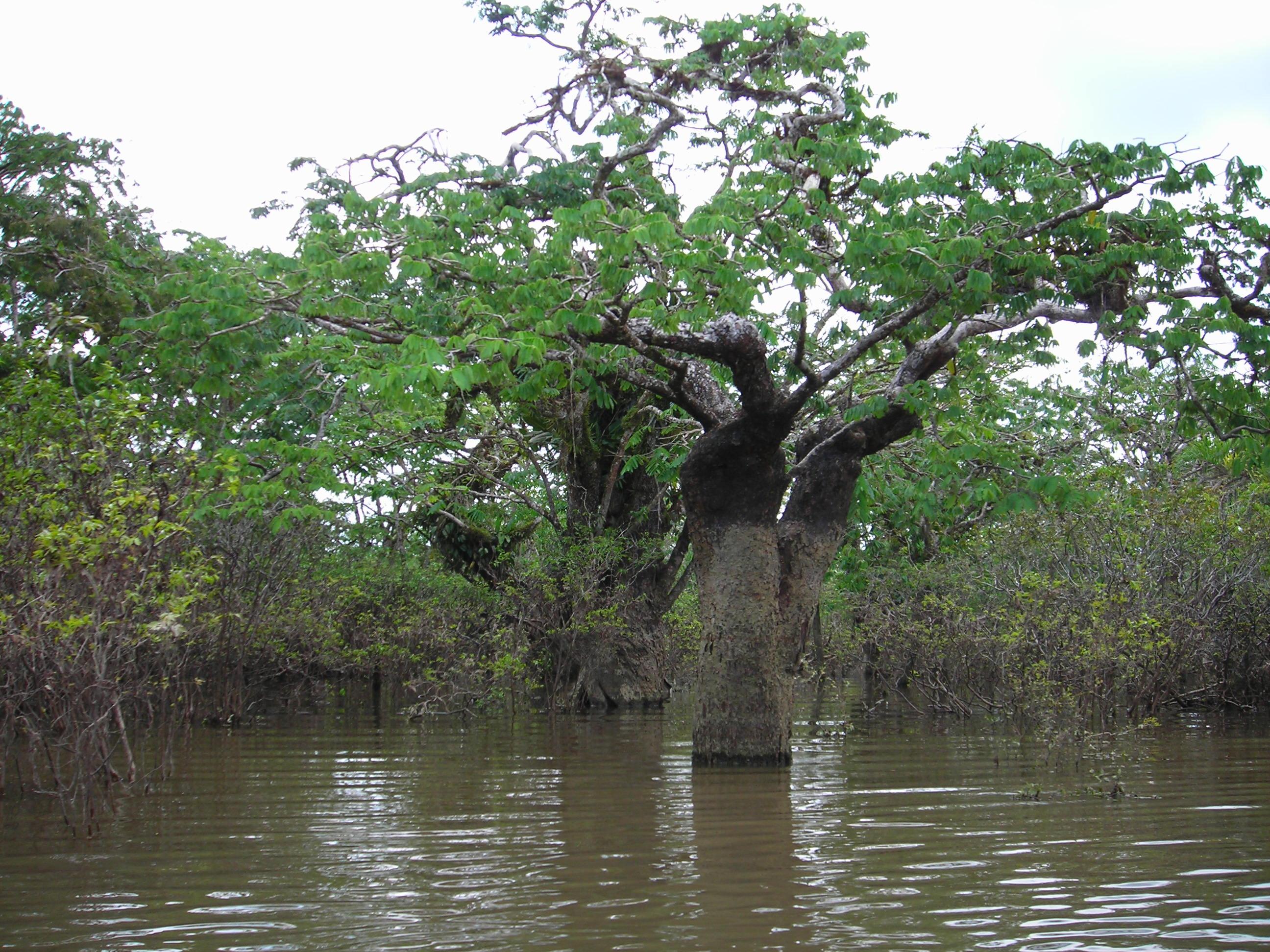 Árboles amazónicos. Foto: Cortesía INABIO.