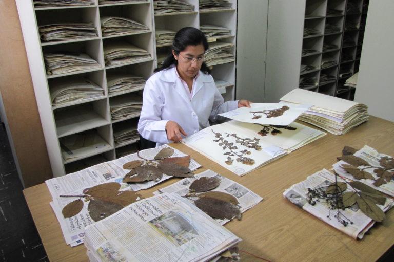 Árboles Amazonía Ecuador. La taxónoma Diana Fernández en el Herbario Nacional QCNE de Ecuador. Foto: cortesía INABIO.