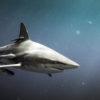 Tiburón puntas negras