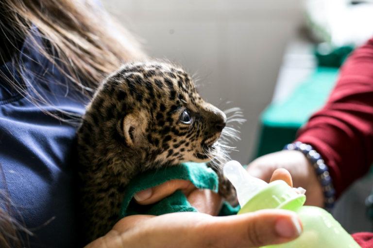 Los cachorros de jaguares son atrapados para satisfacer el mercado internacional. Foto: Serfor Perú.