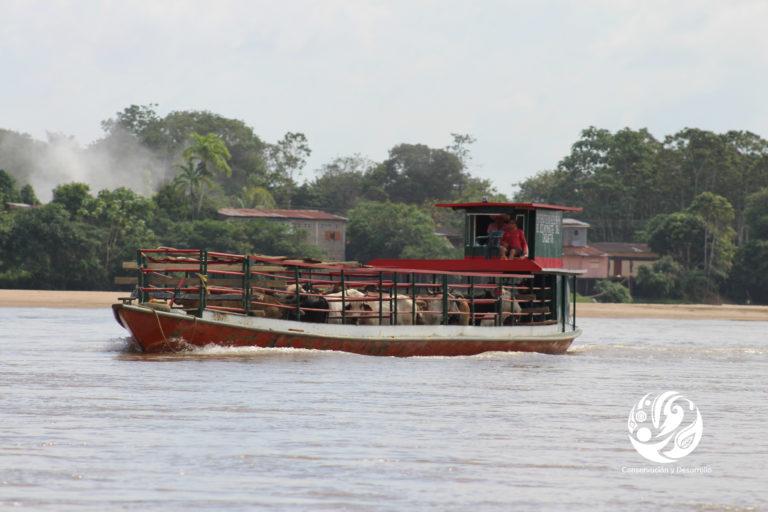 Bosques en el Caguán. Vacas transportadas en Canoa en el río Caguán. Foto: cortesía FCDS.