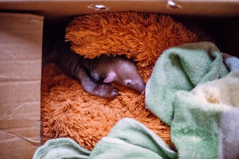 coronavirus Los centros de custodia de fauna esperan la ayuda de la empresa privada y del gobierno. Foto: Refugio Biotermal.