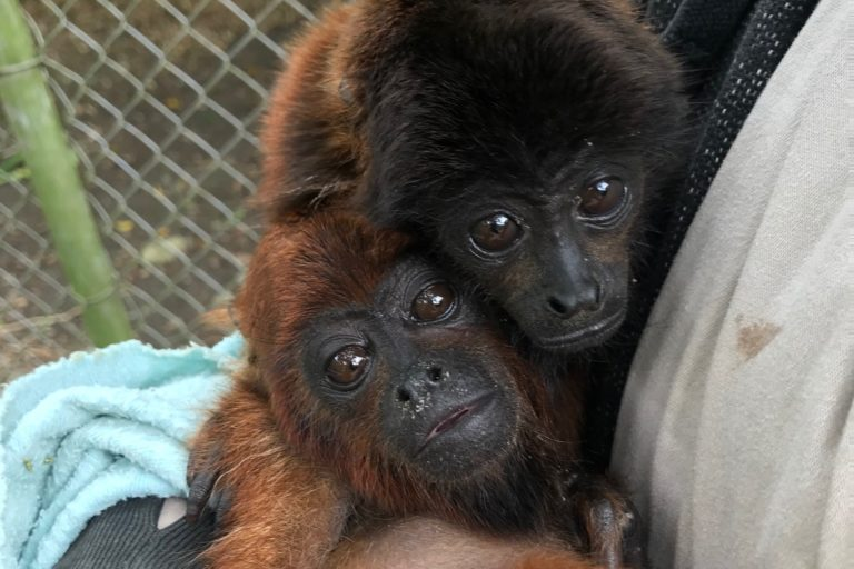 Bolivia refugios animales crisis politica Dos monos aulladores bebé han llegado al Refugio de Vida Silvestre Senda Verde. Foto: Senda Verde.