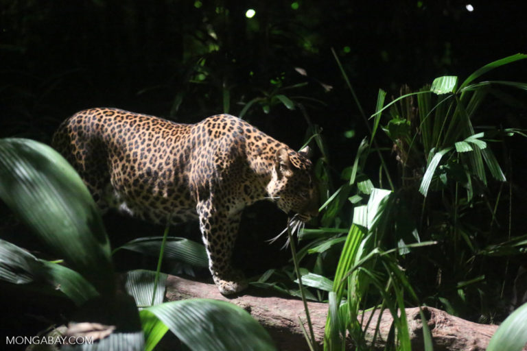 Un jaguar en la noche.