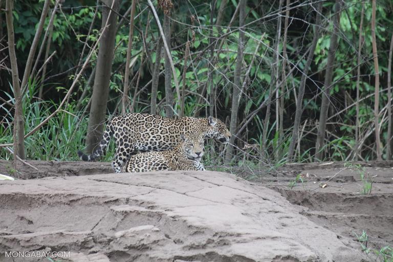 Jaguares en Madre de Dios, Perú.