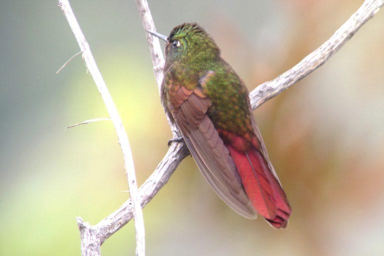Observación aves Colombia. Colibrí de la serranía de Perijá (Metallura iracunda). Foto: Diego Calderón.