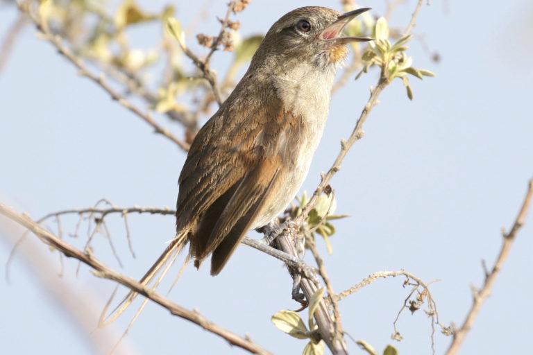 Observación aves Colombia. Chamicero de Perijá (Asthenes perijana) Foto: David Ascanio.
