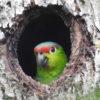 conservación de aves. Amazona lilacina. Foto: Fundación Jocotoco.