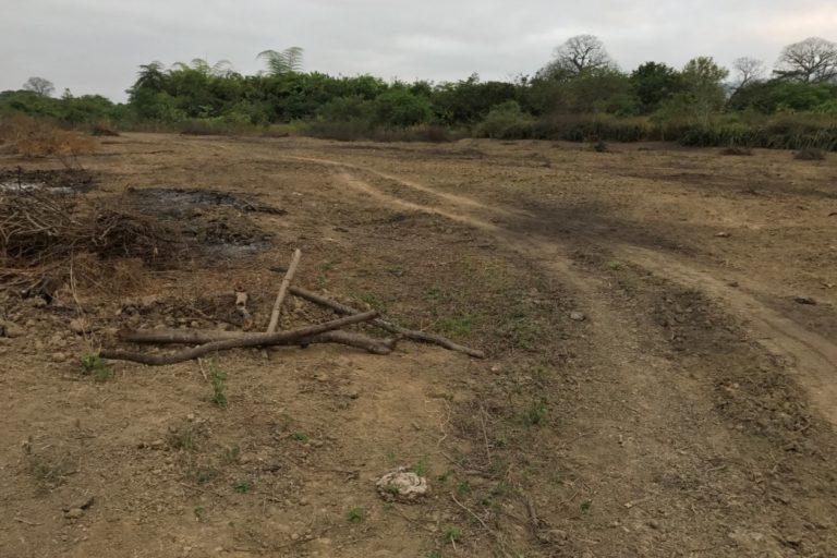 conservación de aves. La deforestación de los bosques de algarrobos es una de las principales amenazas para esta lora endémica de Ecuador. Foto: Michael Moens.