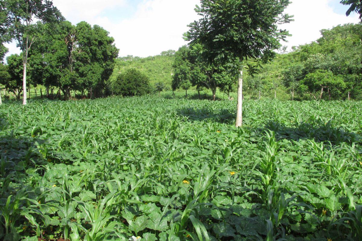 Parcela de policultivo-Sistema agrícola tradicional