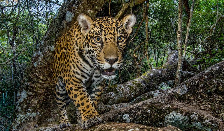 Se teme que por la inmovilización aumente la caza ilegal de jaguares. Foto: Archivo Mongabay Latam.