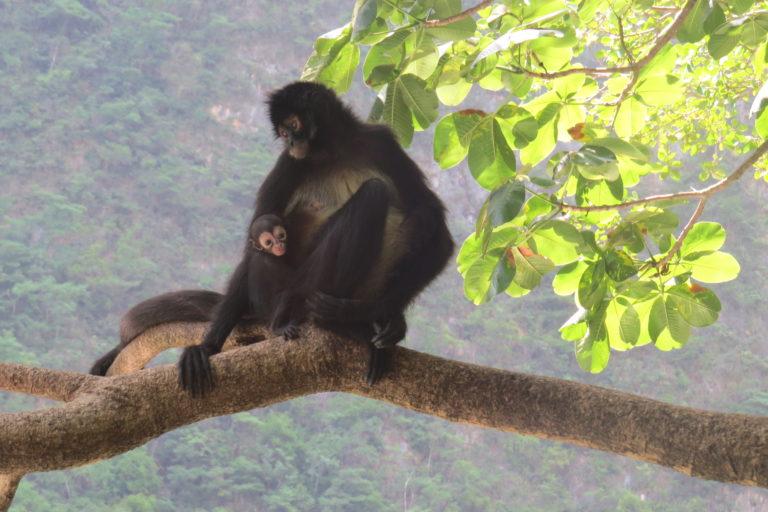 Mono araña-Cañón del Sumidero-México
