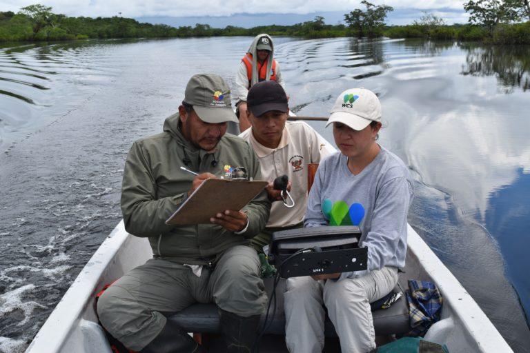Conservación de manatí. Los datos del muestreo fueron tan buenos, que se pudo hacer una extrapolación y establecer que hay cerca de 150 manatíes en la Amazonía noroccidental de Ecuador. Foto: WCS Ecuador.