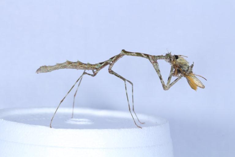 La Carrikerella simpira ha sido encontrada en Tingo María, en la selva peruana. Foto: Yony Callohuari.