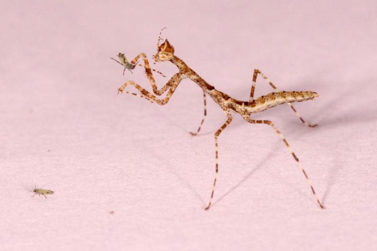 Carrikerella simpira Esta especie de mantis usa sus extremidades como arpones para empalar a sus presas. Foto: Yony Callohuari.