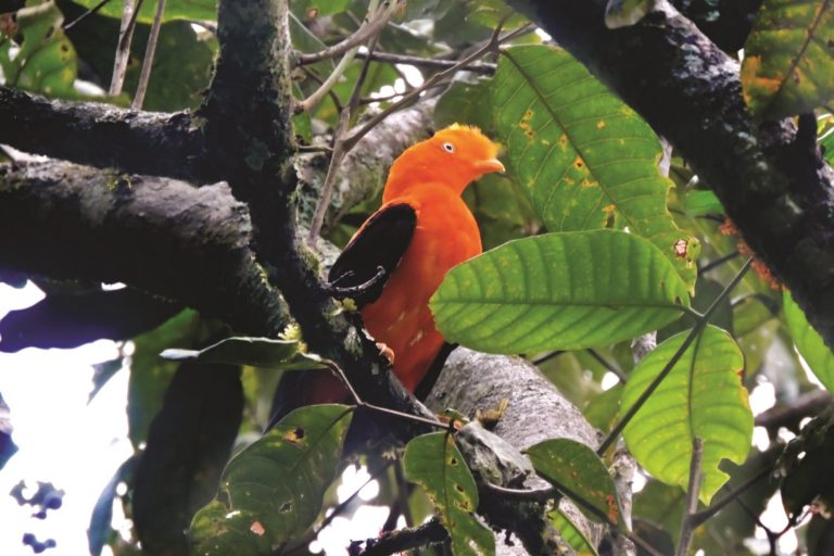 Gran variedad de especies de aves albergan los bosques de Carpish. Foto: NCI.