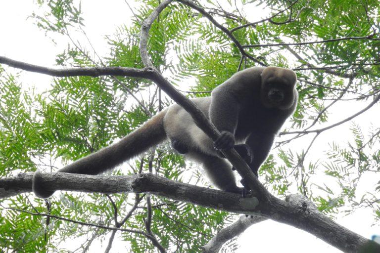 Los primates se observan con mayor frecuencia luego de la creación del Parque Nacional Yaguas. Foto: Sernanp.