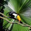 El tucán toco (Ramphastos toco) habita en los bosques húmedos desde Venezuela a Uruguay. Foto: Rhett A. Butler.