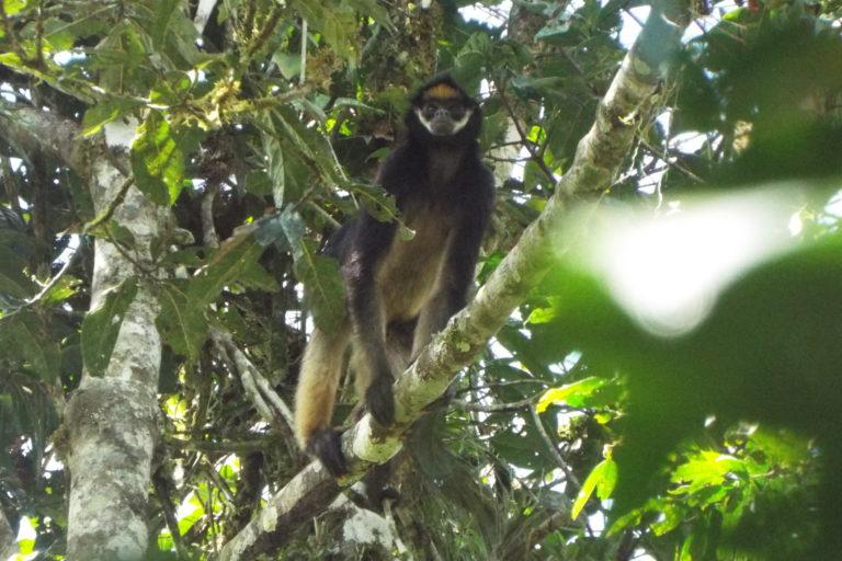 El Ateles belzebuth habita en Perú, Colombia, Brasil y Venezuela. Foto: Luis López.