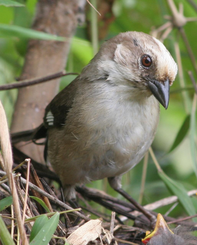 Conservación de aves. El matorralero vive en la Reserva de Yunguilla, ubicada en la provincia de Azuay. Foto: Fundación Jocotoco.