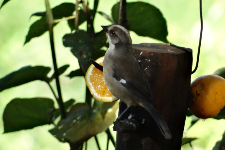 Conservación de aves. Naranjas y panes que se colocan en los comederos del matorralero hacen que los visitantes tengan un 100% de probabilidades de verlos. Foto: Fundación Jocotoco.