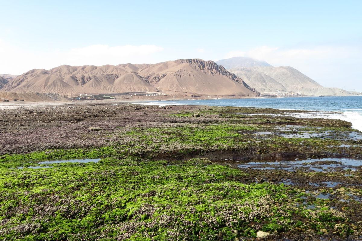 Hace más de 150 años, el piure llegó desde Australia hasta las costas del norte de Chile y se asentó en la ribera de la bahía de Antofagasta.