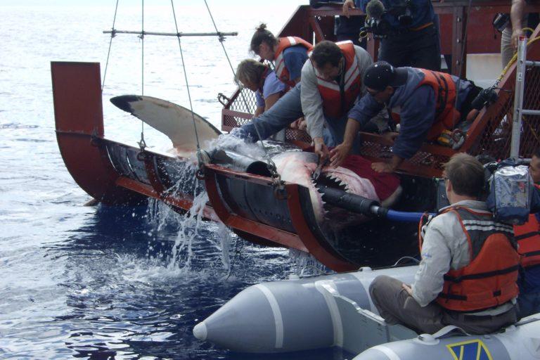 Tiburón Blanco en Isla Guadalupe, México