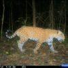 Jaguar-México-Selva Lacandona