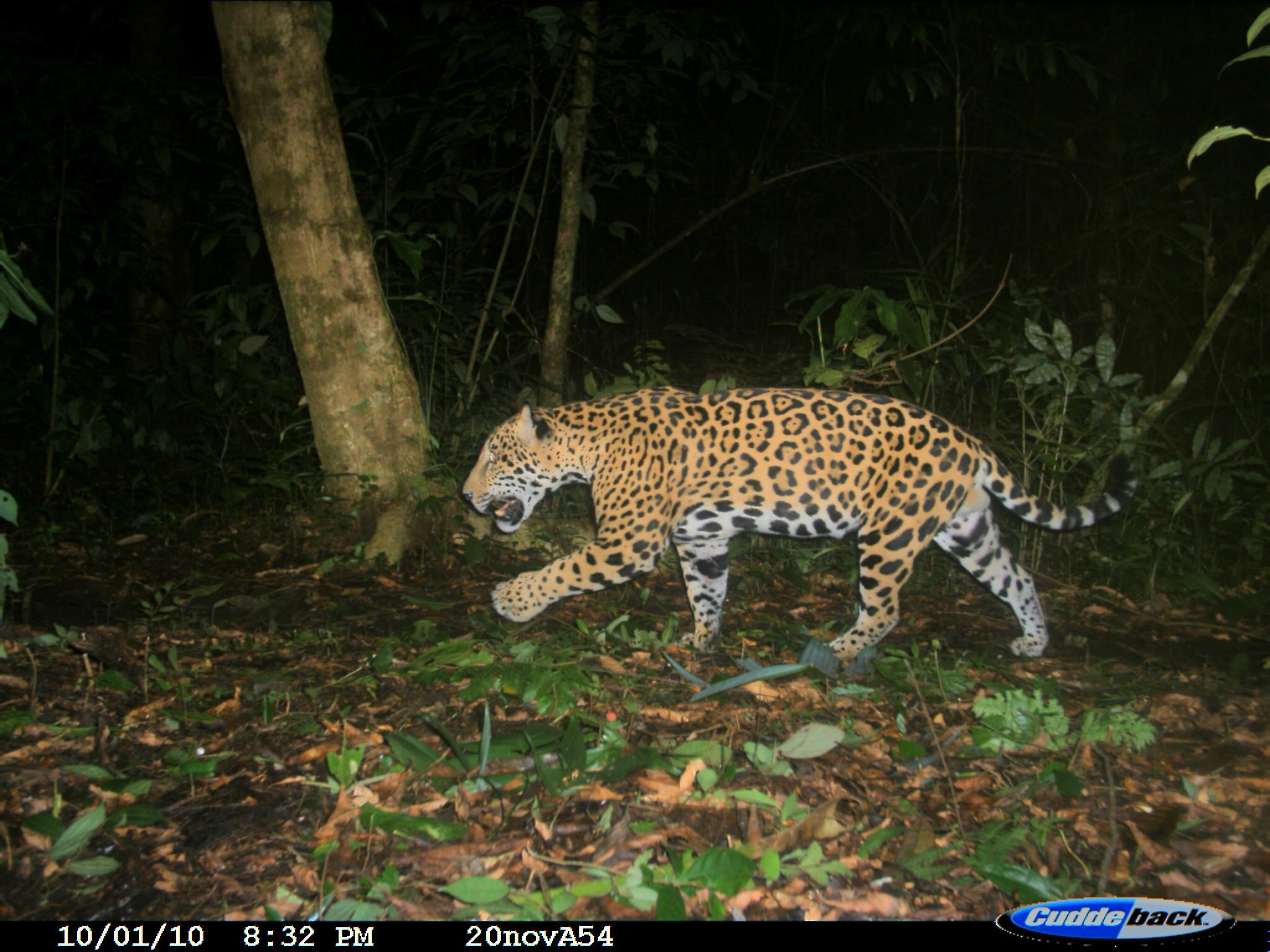 Jaguar México-Rodrigo Medellín