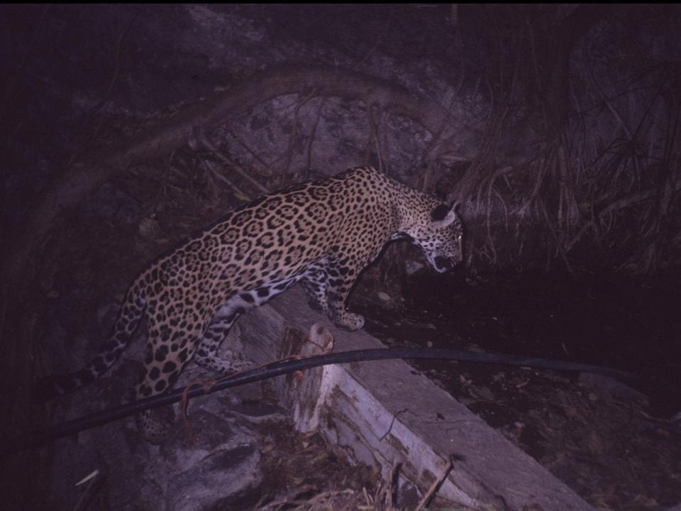 Jaguar en Sinaloa