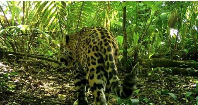 Jaguar-México