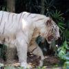 El tigre blanco es un ejemplar de Panthera tigris tigris, o tigre de Bengala, que tiene una variación en su pigmentación. Foto: Rhett A. Butler / Mongabay