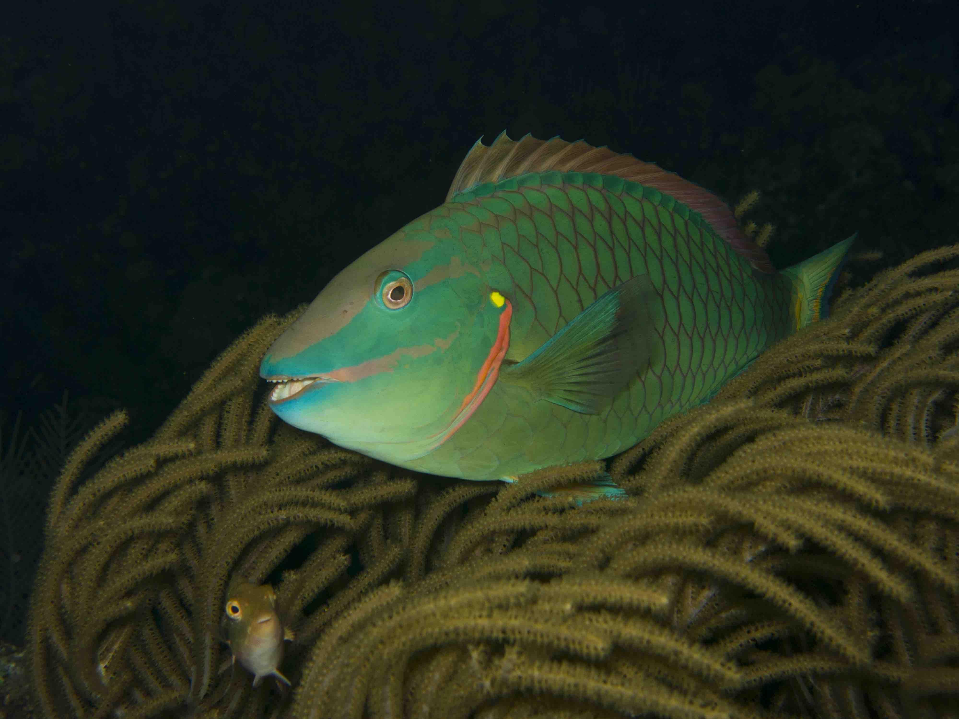 Arrecife mesoamericano-Peces loro