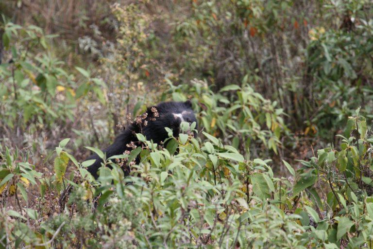 Durante el 2019 se realizó un estudio para evaluar la ocupación del oso andino en Bolivia. Foto: Robert Wallace / WCS Bolivia.