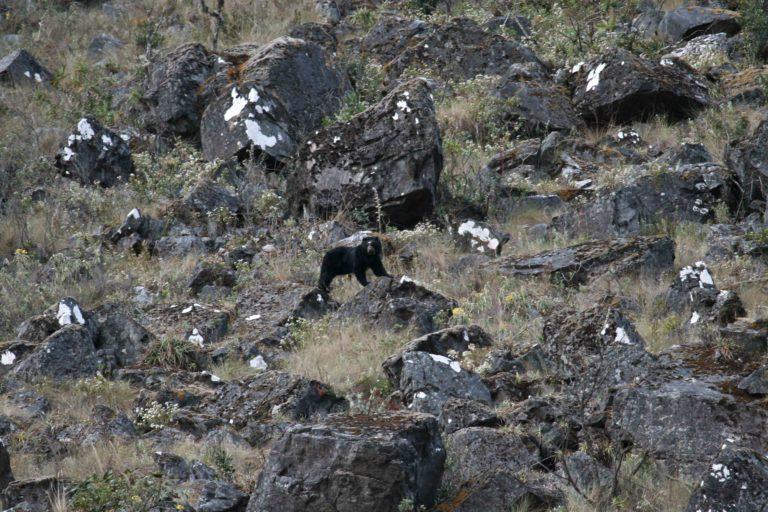 En Bolivia y Perú se encuentra el 70% de la población de osos de anteojos. Foto: Robert Wallace / WCS Bolivia.