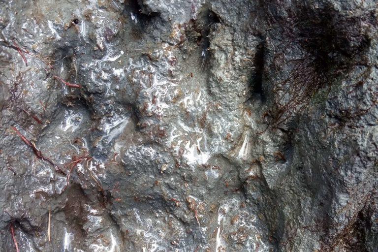 Las huellas de los osos son evidencia para los investigadores sobre la presencia de la especie en una determinada zona. Foto: Herminio Ticona / WCS Bolivia.