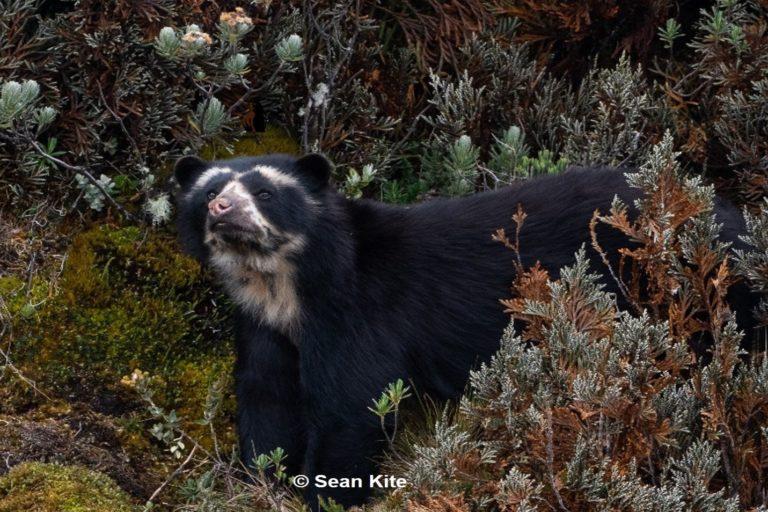 Entre 4000 y 5000 osos de anteojos habitan en Ecuador. Foto: Sean Kite.